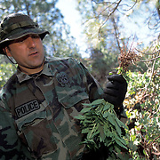 """The national forests in California and across the nation are increasingly being used to grow marijuana. The clandestine grows are shielded by tree canopies and are often close to, if not actually inside, recreational usage areas so that the growers can appear to be normal recreational users. A task force comprised of Sheriff deputies, US Forest Service Agents and Dept. of Justice agents raided a grow in the Tahoe National Forest that yielded 5000 plants in the 2""""-12"""" range and arrested one Mexican national who was tending the grow. Here, agents pick the pot plants and place them in evidence bags."""