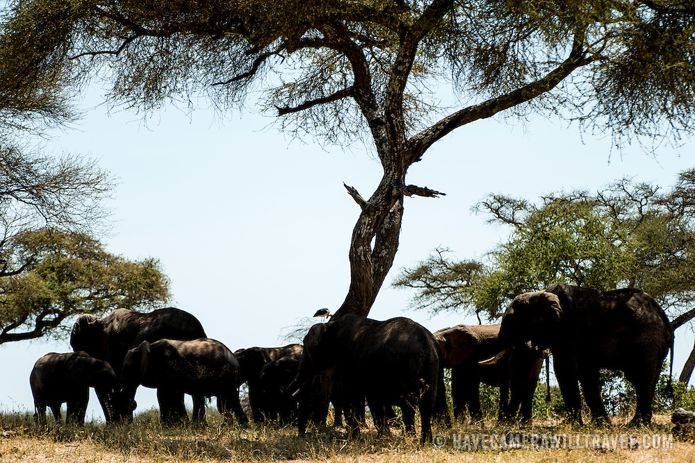 A herd of elephants seeks shade under an acacia tree at Tarangire National Park in northern Tanzania not far from Ngorongoro Crater and the Serengeti.