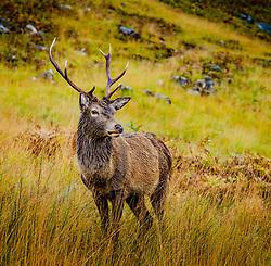 A red deer stag in Glen Etive, Highlands of Scotland<br /> <br /> (c) Andrew Wilson   Edinburgh Elite media