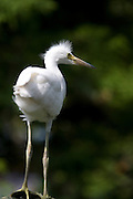 Young Great White Egret