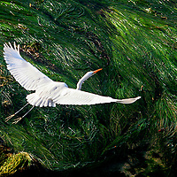 Exposed kelp at  low tide provides a graphic backdrop as an egret flies north to keep up with her chicks near Lighthouse Point in Santa Cruz, California.<br /> Photo by Shmuel Thaler <br /> shmuel_thaler@yahoo.com www.shmuelthaler.com