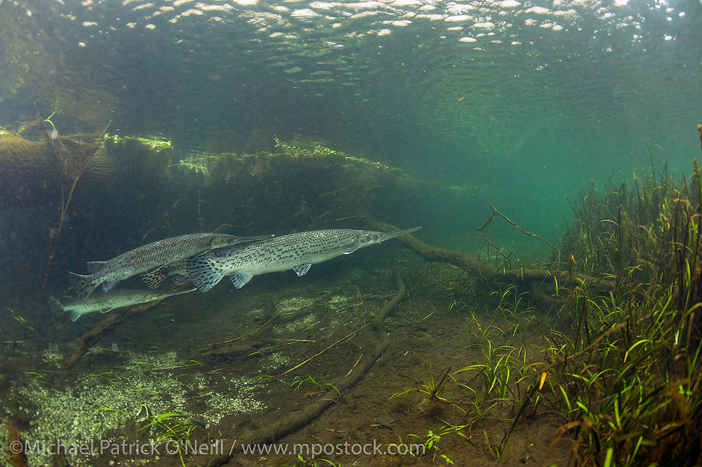 Longnose Gar, Lepisosteus osseus, gather previous to spawning in the IIchetucknee River.