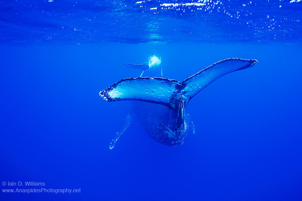 A female humpback whale (Megaptera novaeangliae) swims near the surface with her newborn calf in the Kingdom of Tonga. Humpback Whales are paternal and the young calf will stay with his mother for about 12 months before moving off on its own.  The small circular markings on the flukes are the bite marks from cookie cutter sharks
