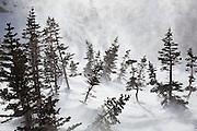 Blowing snow swirls through a grove of small pine tree near Black Lake, Rocky Mountain National Park, Colorado.