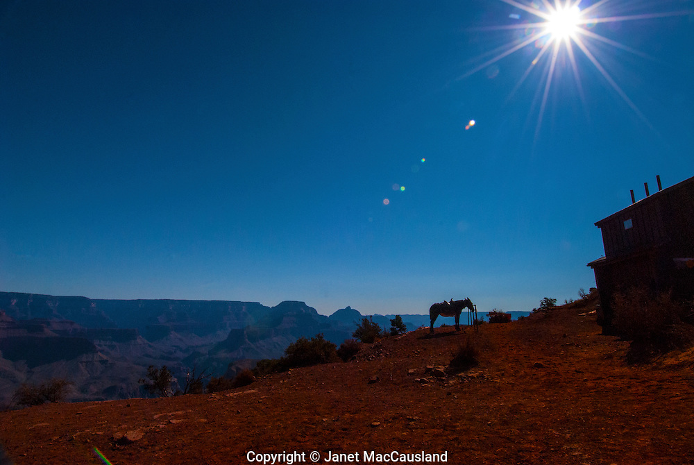 A mule waits at Cedar Ridge point along the South Kaibab Trail, while the sun shines in the clear blue sky.