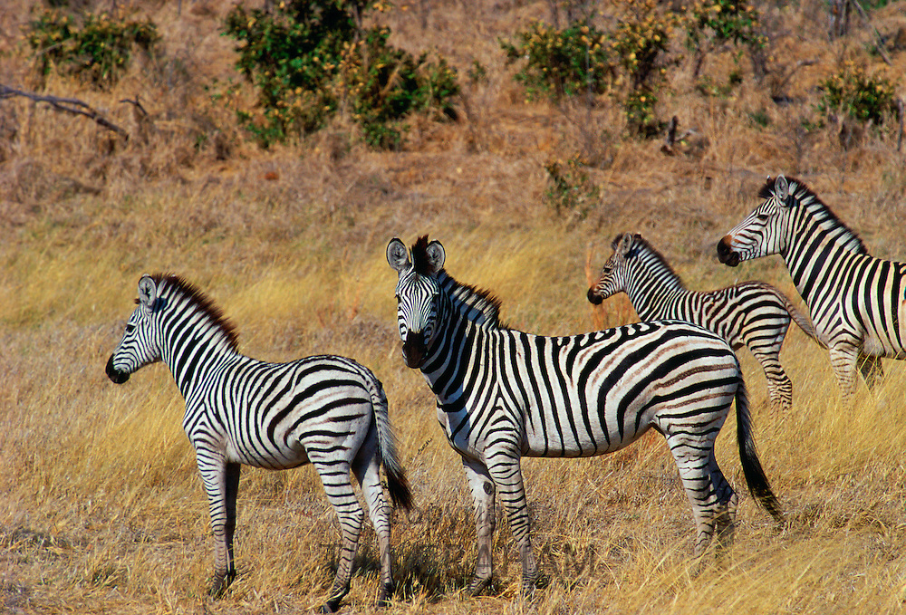 Herd of Burchell's Zebras  in Moremi National Park , Botswana