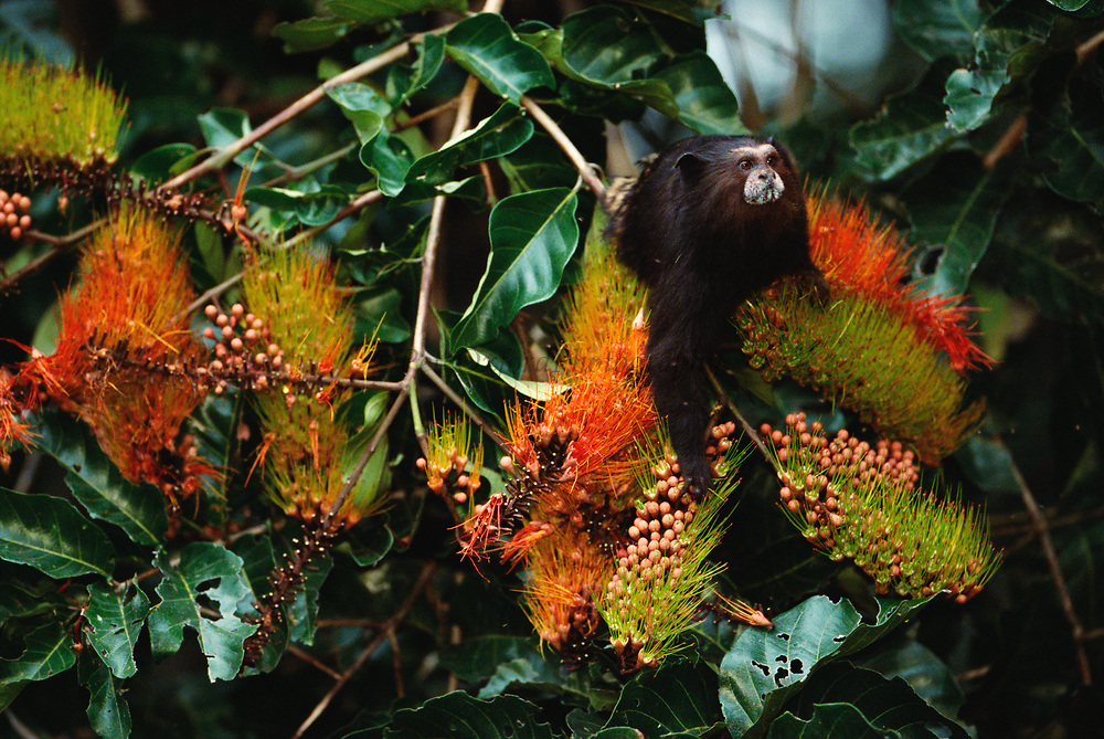 Saddleback Tamarin in Canopy<br />Saguinus fuscicollis<br />Madre de Dios, Amazon Rain Forest, PERU   South America<br />RANGE: East of Andes Brazil, Colombia, Peru, Ecuador, Bolivia