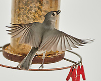 Tufted Titmouse (Baeolophus bicolor).Image taken with a Nikon D850 camera and 500 mm f/4 VR lens.