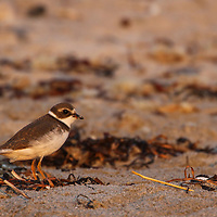 Bird photo from New England nature photographer Juergen Roth featuring a Semipalmated Plover on Sandy Beach in Cohasset, Massachusetts. <br /> <br /> Bird photography images of this Semipalmated Plover are available as museum quality photo prints, canvas prints, wood prints, acrylic prints or metal prints. Fine art prints may be framed and matted to the individual liking and decorating needs:<br /> <br /> https://juergen-roth.pixels.com/featured/semipalmated-plover-juergen-roth.html<br /> <br /> All digital bird photo images are available for photography image licensing at www.RothGalleries.com. Please contact me direct with any questions or request.<br /> <br /> Good light and happy photo making!<br /> <br /> My best,<br /> <br /> Juergen<br /> Prints: http://www.rothgalleries.com<br /> Photo Blog: http://whereintheworldisjuergen.blogspot.com<br /> Instagram: https://www.instagram.com/rothgalleries<br /> Twitter: https://twitter.com/naturefineart<br /> Facebook: https://www.facebook.com/naturefineart