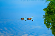 Canada geese (Branta canadensis) on ANdy Lake<br /> Near Kenora<br /> Ontario<br /> Canada