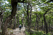 Trekking through Nothofagus forest in French Valley, Torres del Paine National Park, in Ultima Esperanza Province, Chile, Patagonia, South America. The Park is listed as a World Biosphere Reserve by UNESCO.