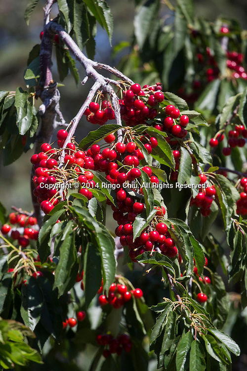 Cherries hang on a branch on Monday, May, 26, 2014, in Leona Valley near Plamdale, California. (Photo by Ringo Chiu/PHOTOFORMULA.com)