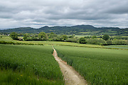 Wheat field on agricultural farmland in Shropshire on 9th June 2021 in Bishops Castle, United Kingdom. Wheat is a grass widely cultivated for its seed, a cereal grain which is a worldwide staple food. The many species of wheat together make up the genus Triticum; the most widely grown is common wheat.