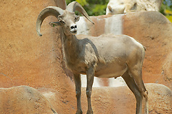 Bighorn Sheep, Los Angeles Zoo