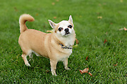 This is a male chihuahua
