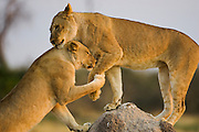 A tender moment  caught while lion siblings ( Panthera leo ) stop to show affection during play time, Chobe National Park,  Botswana, Africa