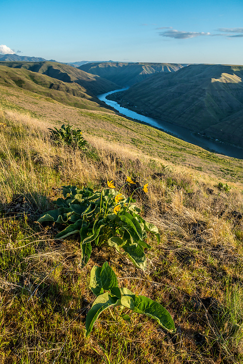 Balsam Root Flowers begin their bloom on the canyon hills of Hells Canyon on the Idaho Side of the Snake River with Washington on other side of river in spring.  Licensing and Open Edition Prints.