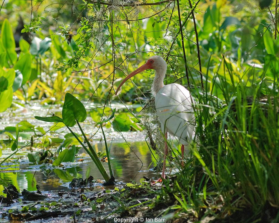 A white Ibis at Wakulla Springs State Park,Florida.