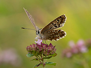 Brown Argus Butterfly, (Aricia agestis) on Wild Thyme (Thymus serphyllum) flower, Kent UK