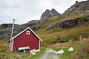 Sheep relax along a country road in Vindstad, Moskenesoya, Lofoten Islands, Norway.