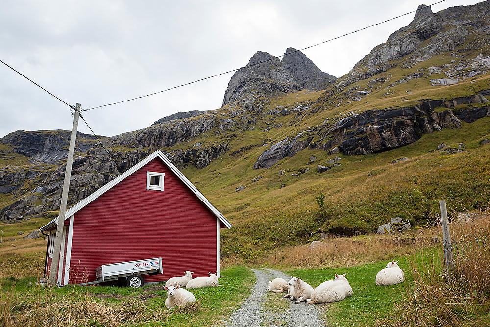 Sheep relax along a country road in Vindstad, Moskenesoya, Lofoten Islands, Norway.