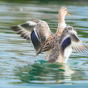 Blonde mallard duck hen rises from pond, with sunlight shining through translucent wings.