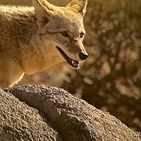 North America, Americas, USA, United States, Arizona. Coyote at Arizona-Sonora Desert Museum.
