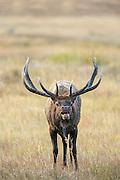 Rocky Mountain Bull Elk in Autumn Habitat