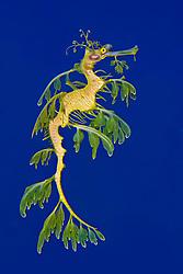 leafy sea dragon or leafy seadragon, Phycodurus eques, endemic to southern Australia, Eastan Indian Ocean (c)