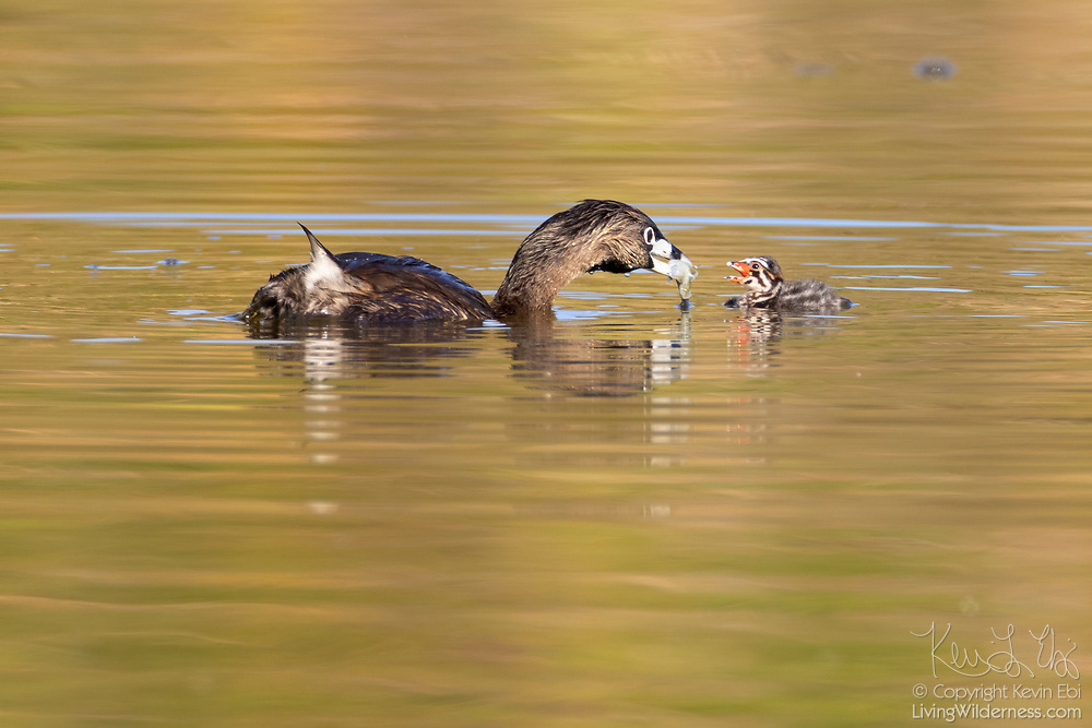 A pied-billed grebe (Podilymbus podiceps) feeds a piece of fish to its chick on a pond in the Union Bay Natural Area, Seattle, Washington.