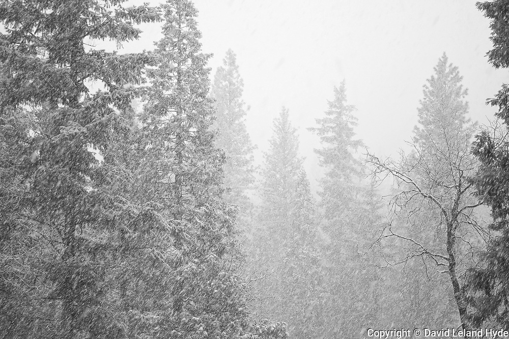 Big Conifers In Heavy Snow, Mormon Canyon Near Genesee, California Wilderness, Black and White Art, California Mountains, Winter Scenes, Falling Snow, Fir Forest, Black and White Photography, Ponderosa Pines, Douglas Firs, Black and White Art, Sierra Nevada Mountains