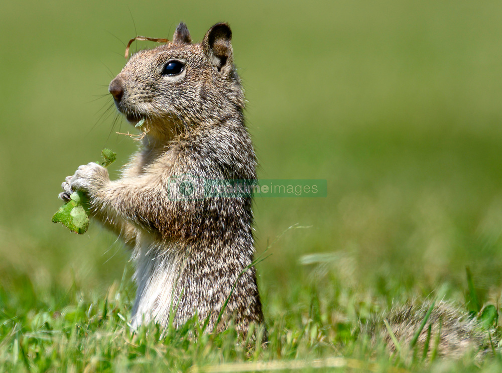 May 2, 2019 - Elkton, OREGON, U.S - A California ground squirrel feeds in a pasture on a farm near Elkton in rural western Oregon. Locally known as digger squirrels, this ground-dwelling rodent also has a strong propensity to climb rocks, stumps, fence posts and trees. (Credit Image: © Robin Loznak/ZUMA Wire)