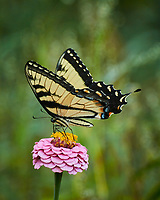 Eastern Tiger Swallowtail butterfly feeding on a Zinnia flower. Image taken with a Nikon N1V3 camera and 70-300 mm VR lens