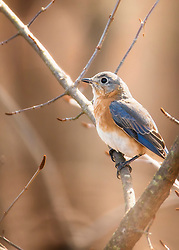 A bluebird perched in the trees
