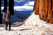 Backcountry skier looking up at a Giant Sequoia in the Giant Forest, Sequoia National Park, California