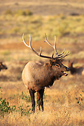 Elk near Gardiner, Montana.