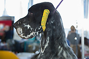 An English setter with his ears wrapped to keep them tidy during the early stages of grooming at the 137th annual Westminster Kennel Club Dog Show.