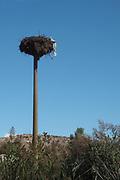 Stalk nest at Lake Kerkini, Greece