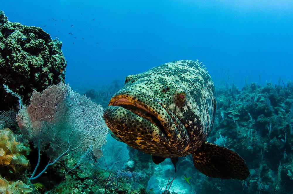 Atlantic Goliath Grouper or Jewfish(Epinephelus itajara)<br /> Jardines de la Reina National Park<br /> CUBA, Caribbean<br /> DISTRIBUTION: Florida Keys, the Bahamas, most of the Caribbean, and practically all of the Brazilian coast.