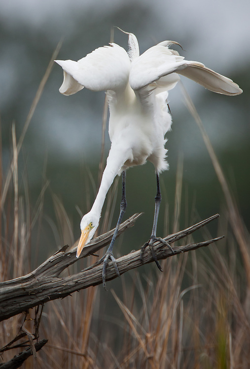 A great egret perches on a snag in a marsh of the May River.