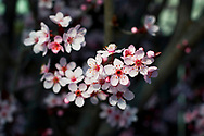 Cherry blossoms are shown on a tree in Antioch, California on Wednesday, February 27, 2008. (Photo by Kevin Bartram)
