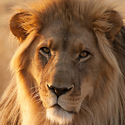 African Lion (Panthera leo), Kenya, Africa