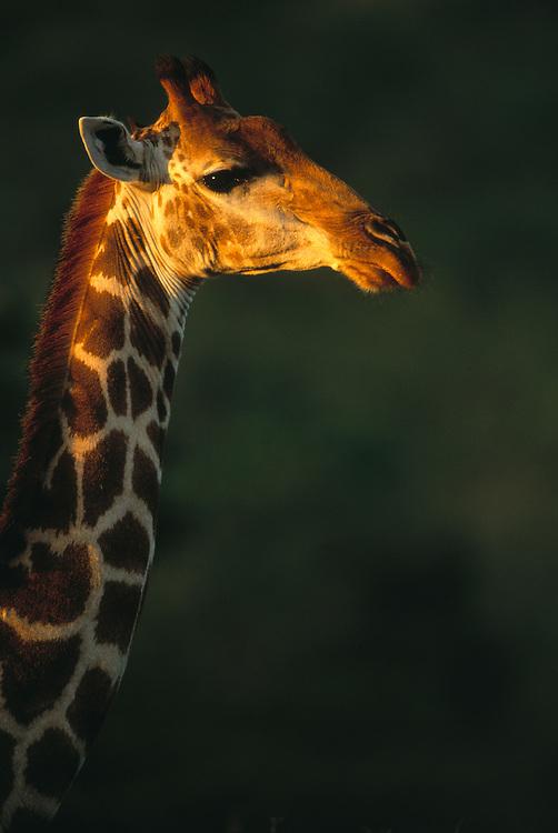 Masai Giraffe, Giraffa camelopardalis tippelskirchi, Kenya