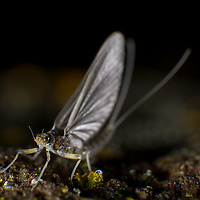 A Blue Wing Olive dries its wings on a rock after emerging from the Deschutes River.