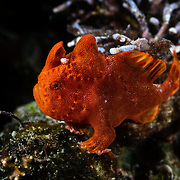 Juvenile painted frogfish (Antennarius pictus), about 3cm in length