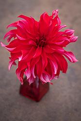 Dahlia 'Red Labyrinth'