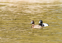Male and female Lesser Scaups, Aythya affinis, swimming on Upper Klamath Lake, Oregon