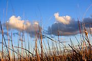 Reeds, Fivebough Wetlands, Leeton, NSW, Australia
