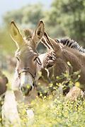 Portrait of two donkeys (Equus asinus) in wildflowers, Santa Reparata di Balagna, Corsica, France