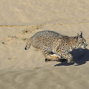 Bobcat, (Lynx rufus) Running across sand dunes in Little Sahara area of Utah.   Captive Animal.
